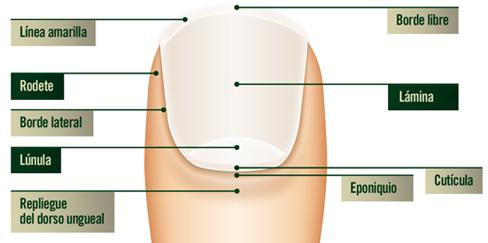 Anatomía de la uña