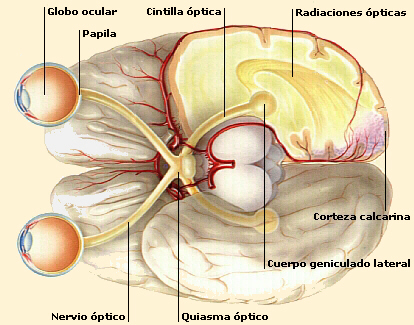 El ojo humano, ¿cómo funciona? | Ciencia Inquieta